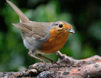 Robin. Stock Images