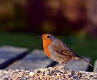 Robin feeding on Bird Table Royalty Free Stock Photography