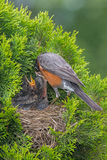 Robin Feeding Chicks Foto de Stock