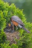 Robin Feeding Chicks Foto de Stock