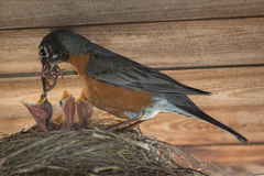 Robin Feeding Her Young stockfoto