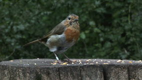 Robin feeding on a post UK England. Robin on a post eating seed stock video footage