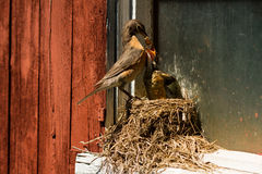 Robin Feeding It's Chick in its Nest, American Robin,  Turdus migrators, True thrush. Stock Photos