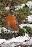 Robin Feeding In Snow Royalty Free Stock Images