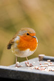 Robin on a feeding table. Little robin eating seeds from a feeding table Royalty Free Stock Image