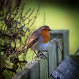 Robin on Fence Stock Photo