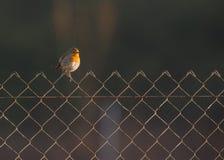 Robin on fence Stock Photo