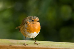 Robin on Fence Stock Images