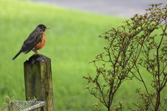 Robin on Fence Post. Red Robin sitting on Fence Post beside shrub Stock Image