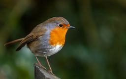 Robin on a fence post stock photography