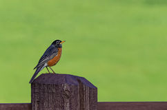 Robin on Fence Post Royalty Free Stock Image