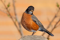 Robin on a Fence Post. A robin sits on a cedar fence post framed by the branches of a leafing out tree. Headed tilted and its beautiful orange breast in full stock images