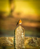 Robin on a fence-post Royalty Free Stock Photography