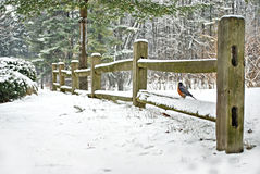 Robin on fence in winter Stock Image