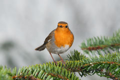 Robin on a fir branch Stock Photography