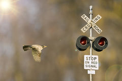 Robin In Flight With Railroad Crossing Light Royalty Free Stock Photography