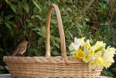 Robin on flower basket with daffodils Stock Photography