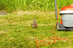 The robin and the flymo mower Stock Photo