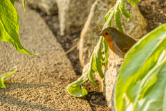Robin foraging for food. Robin songbird foraging for food Royalty Free Stock Photo