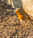 Robin foraging for food in spring. Robin foraging for food on the ground in spring Royalty Free Stock Images