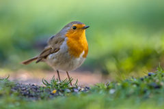 Robin foraging on the ground Royalty Free Stock Photo