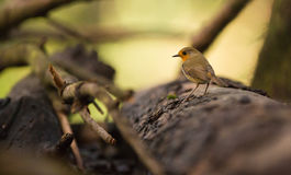 Robin on forest floor Royalty Free Stock Image