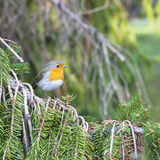 Robin in the forest Royalty Free Stock Photography