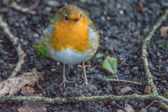 A  cheery christmas Robin sits in a natural frame. A cheery little Robin sits within his twig frame posing for his picture in a Sussex garden Stock Photos