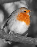 Robin in full song black and white with red colour pop to breast. Colour popped robin redbreast singing in seasonalwinter woodland of english garden stock photo