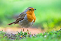 Robin in garden with bright green background Stock Photos