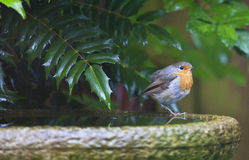 A Robin in the Garden. On a sunny Spring day Stock Image