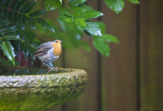A Robin in the Garden. On a sunny Spring day Royalty Free Stock Photo