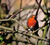 Robin gathering food. Stock Images