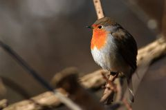 Robin General (Erithacus rubecula) royalty free stock photography