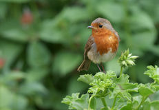 Robin on geranium Royalty Free Stock Photo