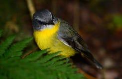 Robin giallo orientale Fotografie Stock Libere da Diritti