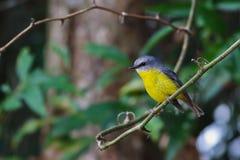 Robin giallo orientale australiano Immagine Stock Libera da Diritti