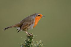 Robin on a gorse branch. Robin perched on a gorse bush Stock Photography