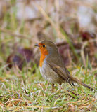 Robin on the grass Royalty Free Stock Photography