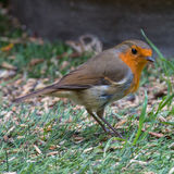 Robin on the Grass. A British robin checks the grass for fallen seeds Stock Photo