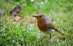 Robin on grass Royalty Free Stock Photos