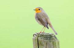 Robin with green backdrop Royalty Free Stock Image