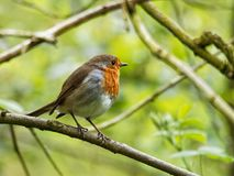 A Robin on Green Background. A Robin on a Branch Against a Green Background royalty free stock photo