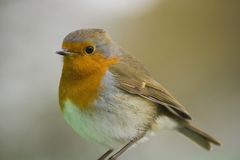 Robin. With green bag its perched on, reflecting on chest Royalty Free Stock Photo