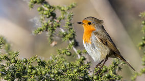Robin on Green Bush. Robin (Erithacus rubecula) is perching on green bush stock photography