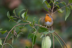 Robin with green fruit Stock Images