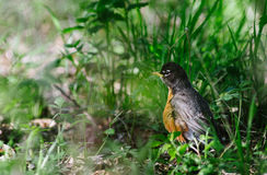 Robin - Ground Stock Photography