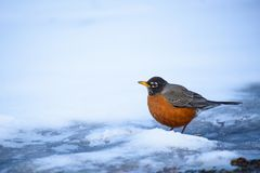 Robin on the ground digging and searching for food royalty free stock photography