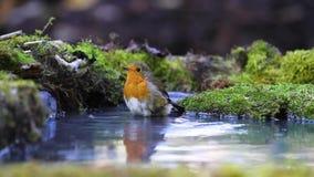 Robin ha bagnato nello stagno della foresta archivi video