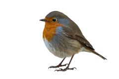 Robin ha isolato fotografie stock